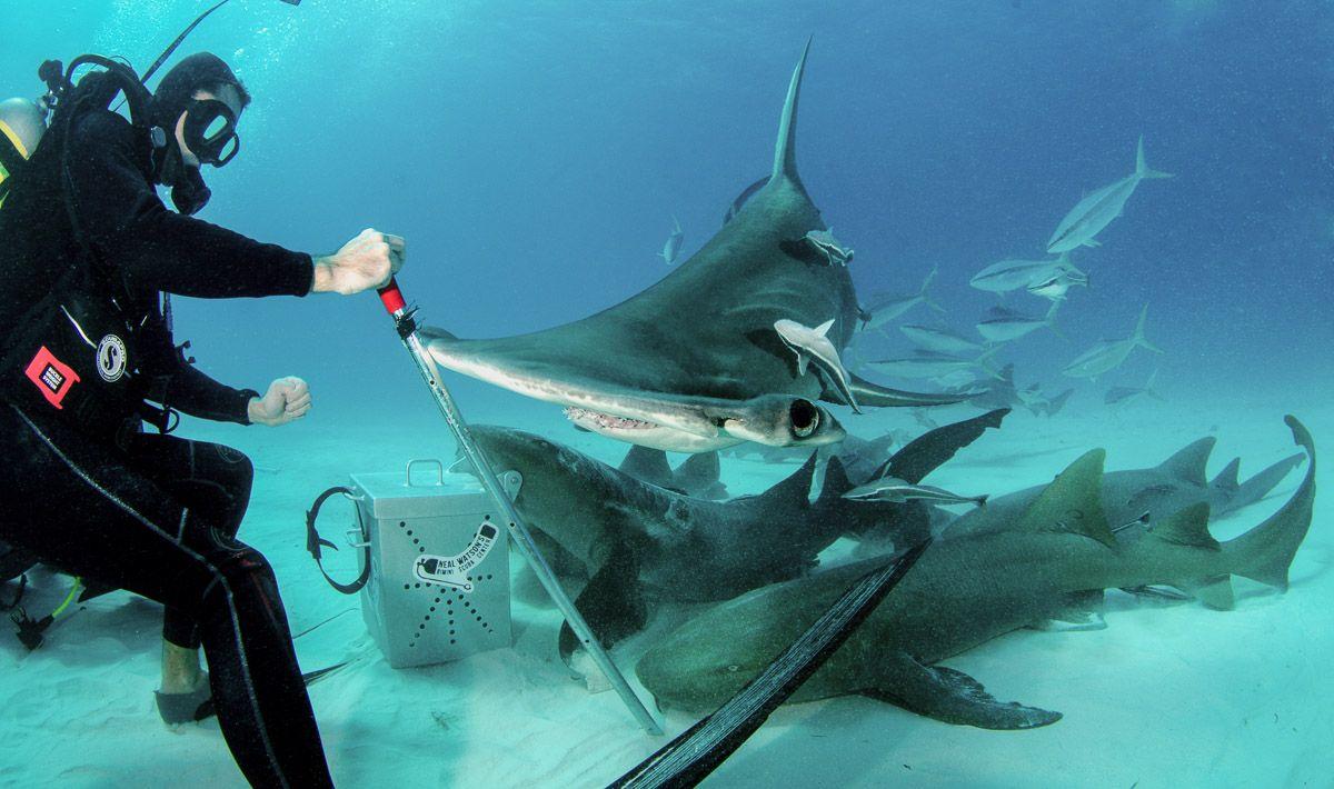the great hammerhead shark The great hammerhead is a shark in hungry shark world it is a xl shark the great hammerhead shark costs 65,000 coins the great hammerhead has the second most health in the xl sharks category.